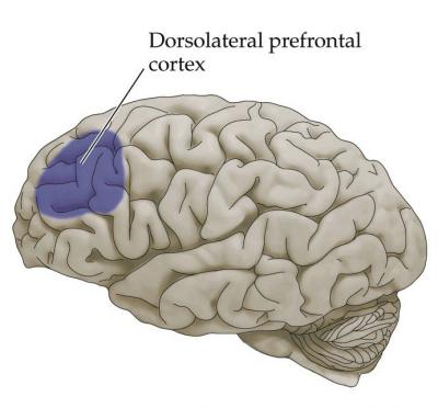 lateral pre-frontal cortex: centre for working memory and IQ