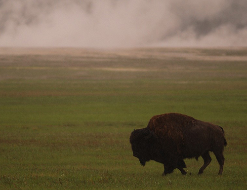 bison mascot of yellowstone national park