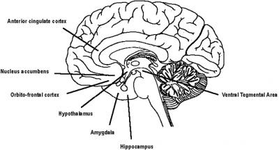 neurobiology of love